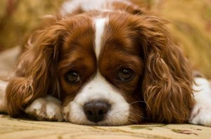 Another sad King Cavalier